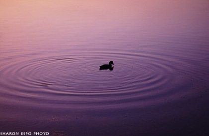 ducks sharon espo photo